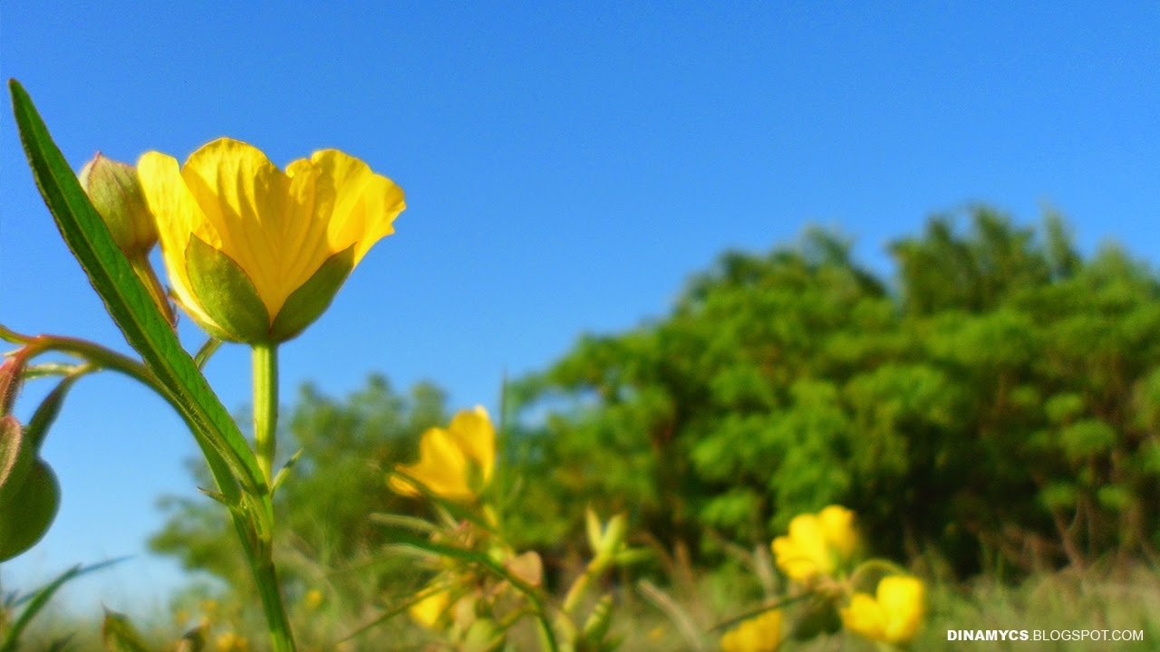 yellow flowers backgrounds - campo con flores amarillas HD