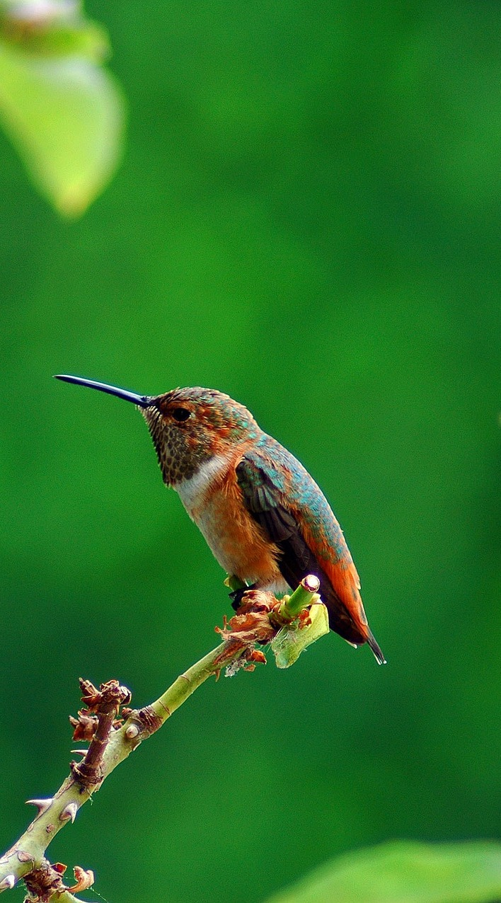 Picture of a beautiful hummingbird.