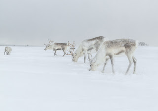 antlered reindeer peacefully graze on a snowy landscape