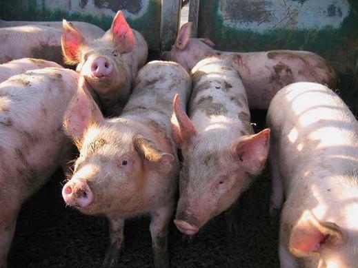 صحفي يكشف كيف يتم أستخدام جلود الخنازير في صناعة اللبان