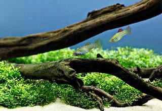 Algae Eater untuk Aquascape Ikan Molly