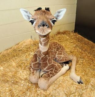 Green Pear Diaries, animales bebé, crías, tiernos, jirafa