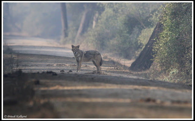Jackal at Bharatpur