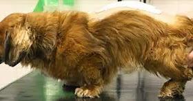 'Crise de coluna' em cães a lesão medular