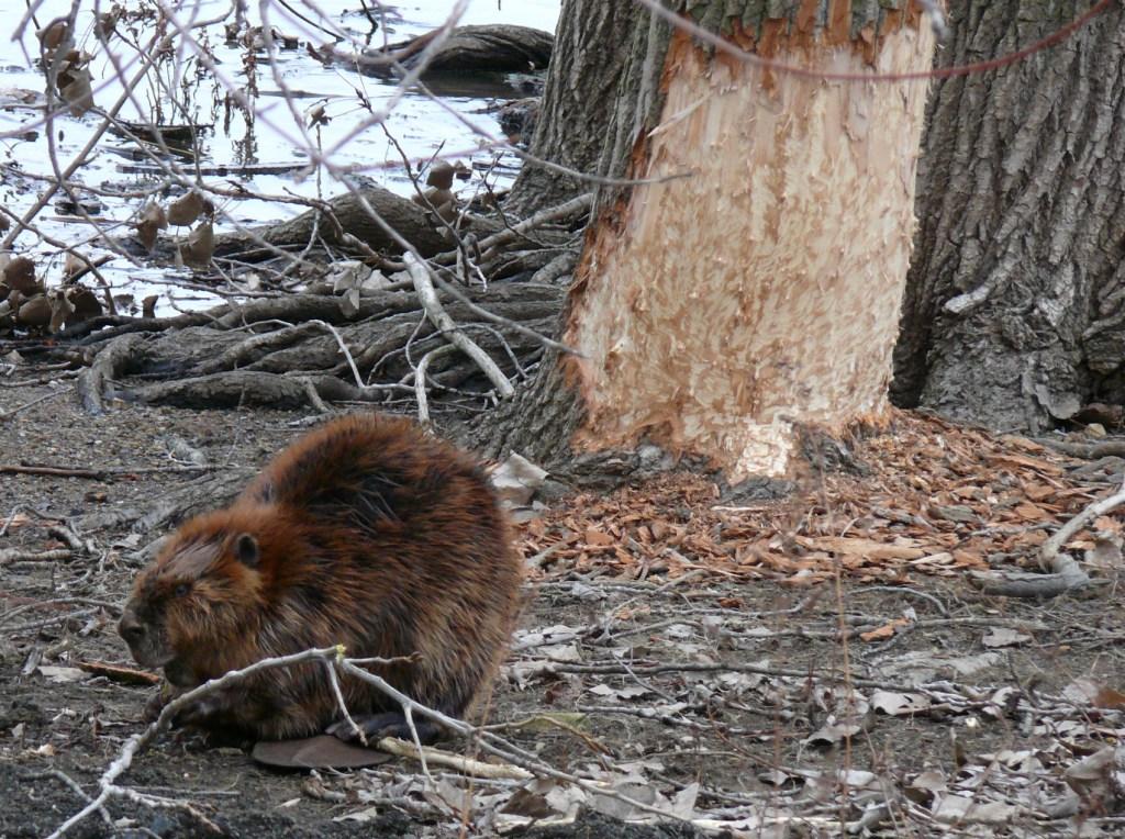 Ohio Birds and Biodiversity: Those hard-working Beaver ...