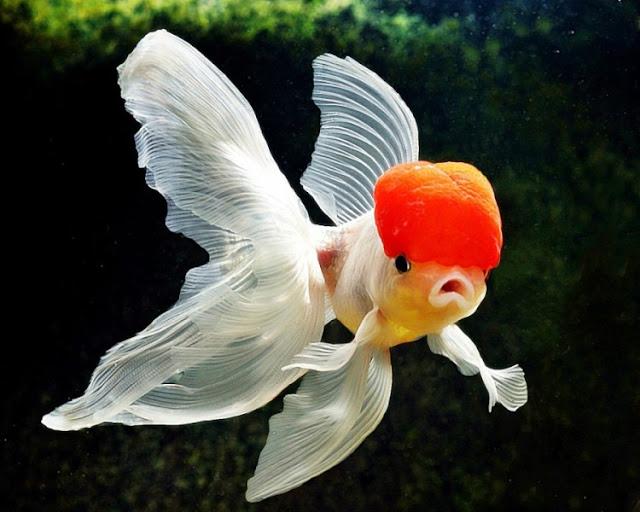 Dunia Ikan Hias - Ikan Mas Koki