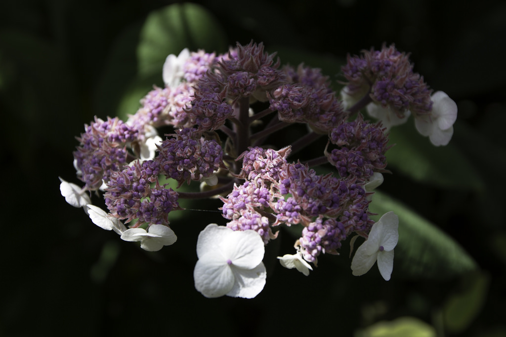 Hydrangea Sargentiana Care And Culture Travaldo S Blog