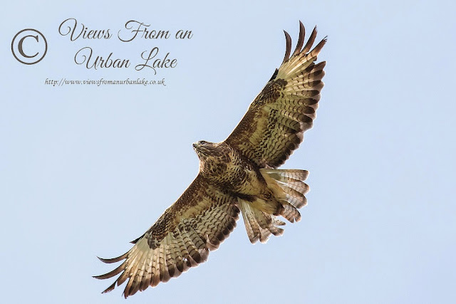 Common Buzzard seen over old lock