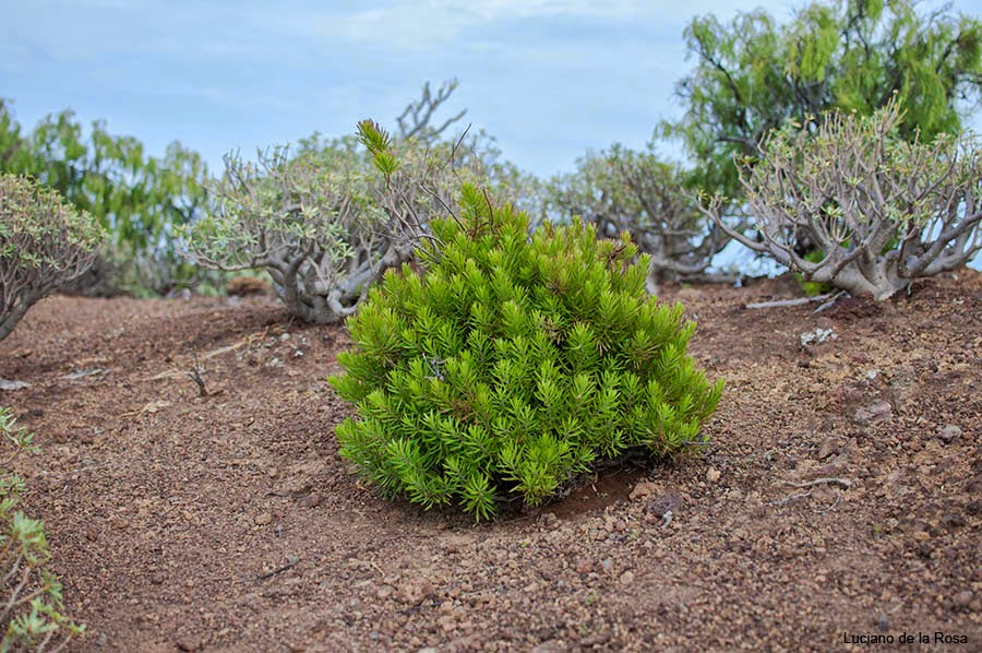 Arbusto frecuente en la cima de Montaña Grande o Montaña del Socorro.