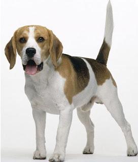 razas de perros pequeños beagle