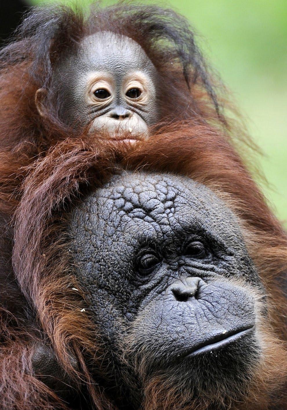 Orphaned Baby Orangutan Gets A Mommy (4 Pics)