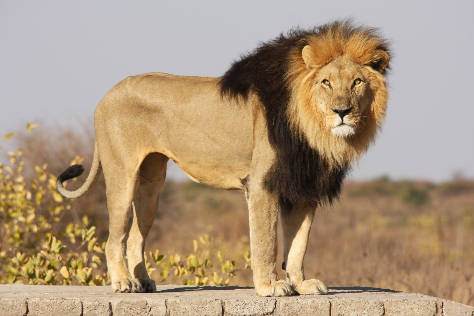 male lion weight - HD1600×1066