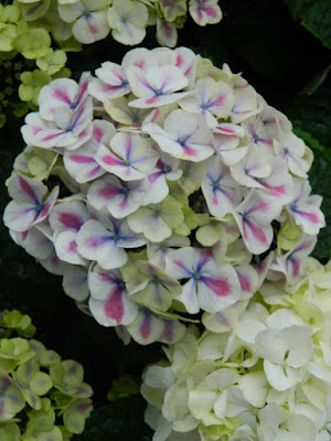 Florist Hydrangea macrophylla at the Centennial Park Conservatory 2018 Easter Flower Show by garden muses-not another Toronto gardening blog