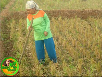 Menanam padi dengan cara diaseuk / ditugal
