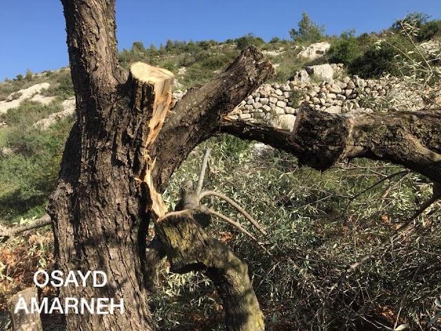 بالصور :: مستوطنون يقطعون أشجار زيتون في قرية الجبعة جنوب بيت لحم