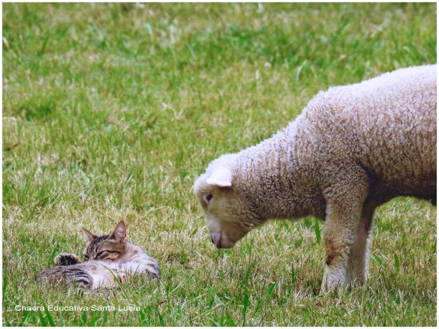 La gata se ha hecho amiga del cordero - Chacra Educativa Santa Lucía