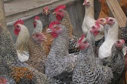 Ayam Arab Dan Cara Ternaknya Yang Baik