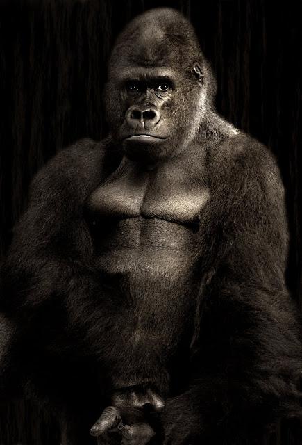 Black Big Gorilla HD Wallpaper