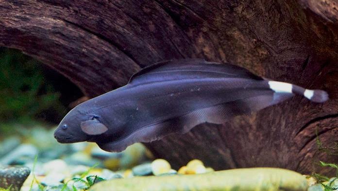 Cara Melakukan Pemijahan Ikan Black Ghost Superperikanan