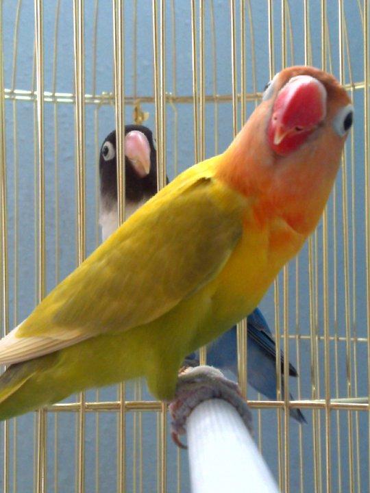 African love birds breeds