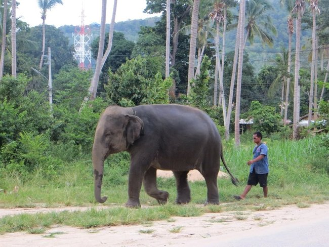 Слон идет домой, а за ним идет погонщик