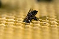 Comparto un nuevo audiovisual sobre la abeja reina. Es la segunda vez que dirijo la cámara hacia las abejas, unos insectos fascinantes.  Esta especie, vital para nuestra supervivencia, se encuentra amenazada. Millones de abejas están muriendo debido a diversas razones que van desde el uso de agroquímicos, la deforestación o el crecimiento de las zonas urbanas. Este audiovisual te ayudará a conocer un poco mejor a estos insectos polinizadores tan importantes para la vida en nuestro planeta.