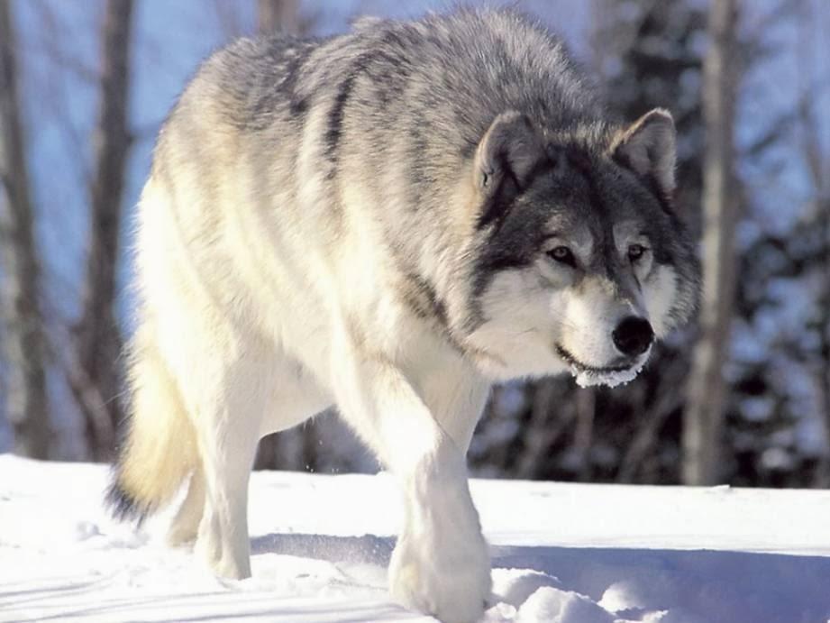 Lobo artico en la tundra artica