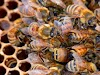 Καταπολέμηση βαρρόα με μια νέα μέθοδο... Ούτε που έχει περάσει απο το μυαλό των περισσότερων μελισσοκόμων!