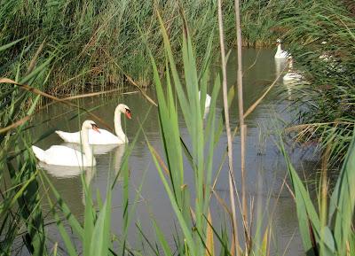 Cisnes en la Camarga