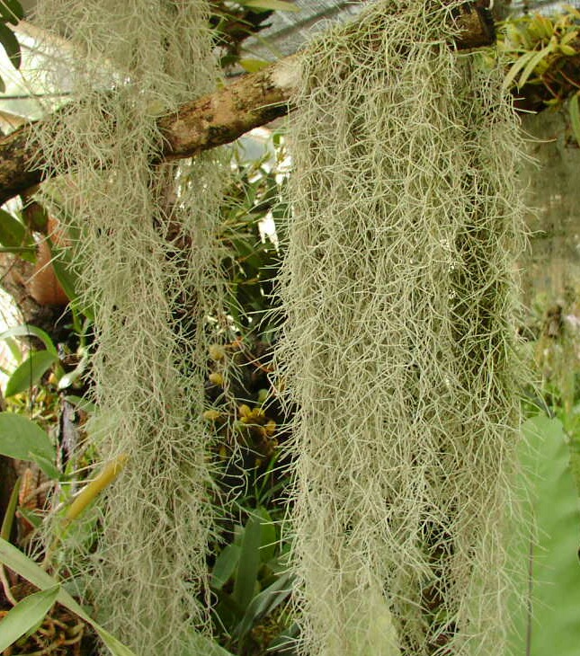 spanish moss and trees relationship