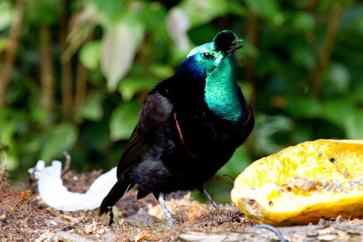Burung Cendrawasih Kerah