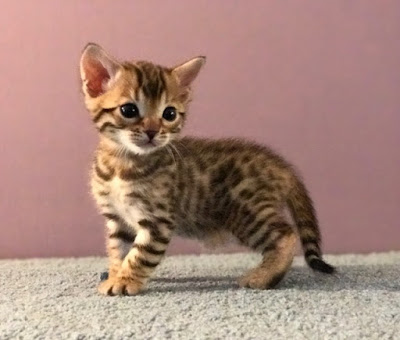 New Bengal Kittens