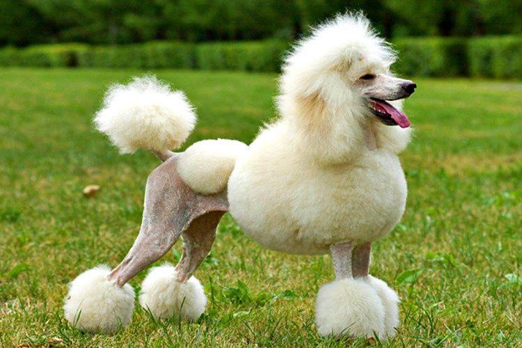 Fransız finosu aslında bir Alman köpeğidir, bu türün ilk ismi Pudelhund'du.