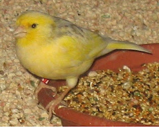 Tips Merawat Burung Kicau Yang Drop atau Lesu