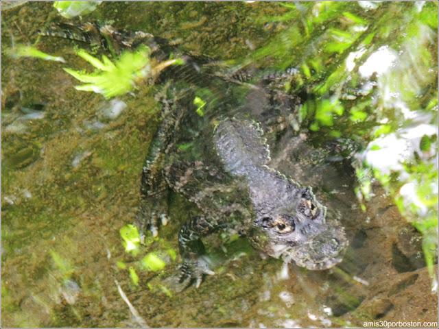 Selva Tropical del Biodôme: Caimán Yacaré