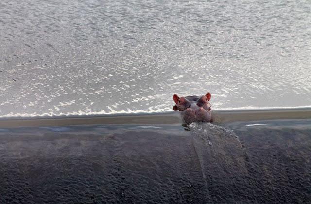 Пускающий пузыри на водопаде бегемот прославился в Сети