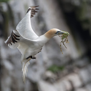 Northern Gannet with nesting material in mouth