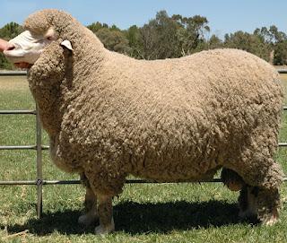 Sản xuất len từ lông cừu