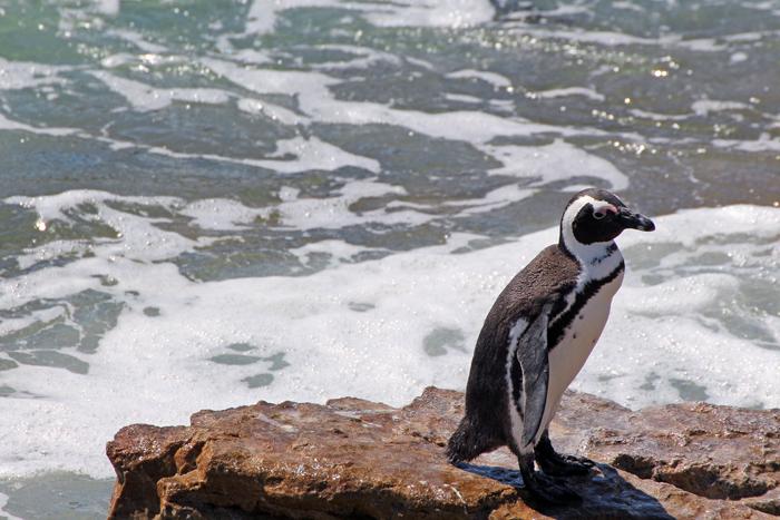 Pinguin in Betty's Bay, Stony Point (Südafrika)