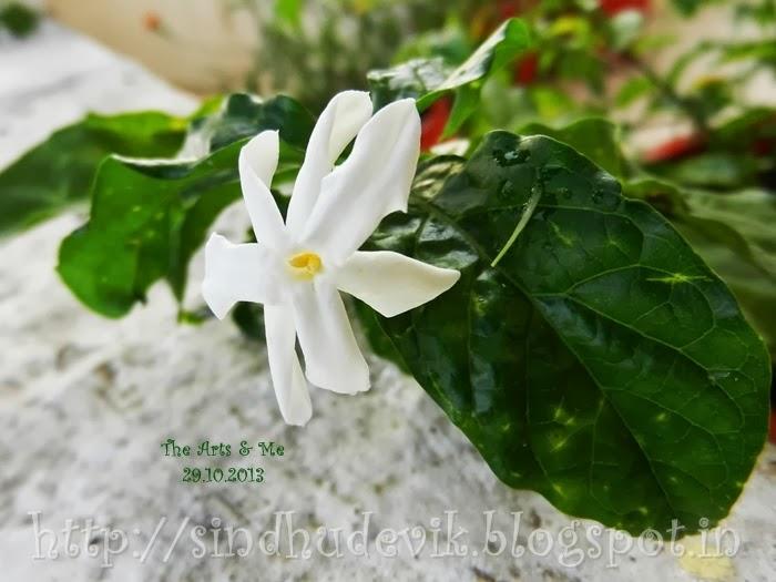 Mangaluru Mallige or Shankarapura mallige in my garden