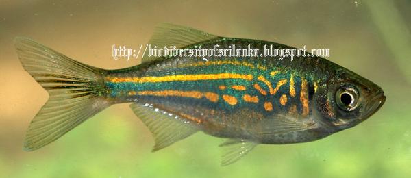 Biodiversity of sri lanka rath for Giant danio fish
