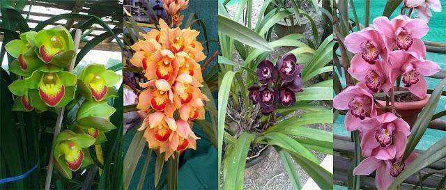 Varieties of Orchid inside Cymbidium Orchid Park Mungpoo