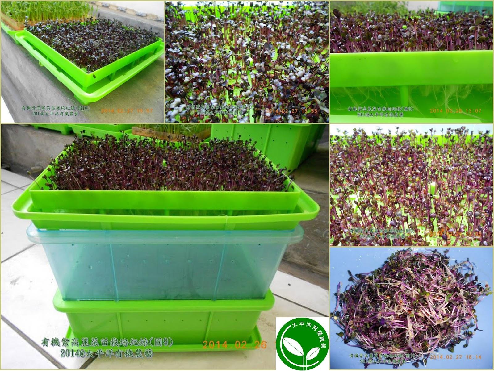 有機芽菜 有機紫高麗菜芽菜苗 有機芽菜箱 有機芽菜水耕盤 有機芽菜機