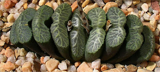 Haworthia truncata - M08041601