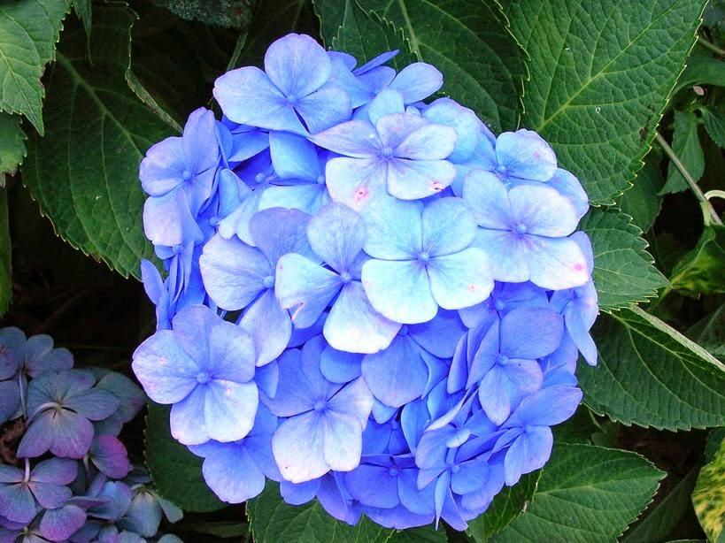 Những loài hoa có độc khi ăn phải