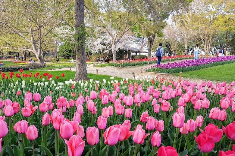 昭和紀念公園內的鬱金香