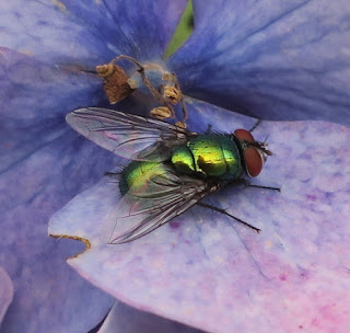 Close up of greenbottle fly on fading blue hydrangea flower.