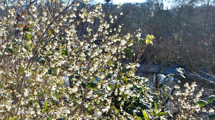 Frühes Ziergehölz mit Duft - Blumenhasel - Corylopsis