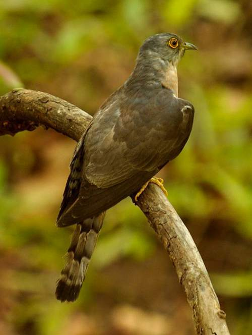 Birds of India - Image of Common hawk-cuckoo - Hierococcyx varius