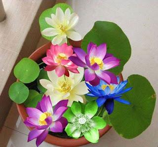 Chậu hoa sen nhật mini đẹp